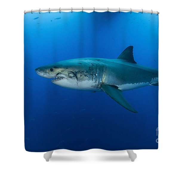 Male Great White Shark, Guadalupe Shower Curtain by Todd Winner