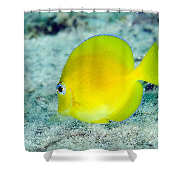 A Juvenile Blue Tang Searching Shower Curtain by Terry Moore