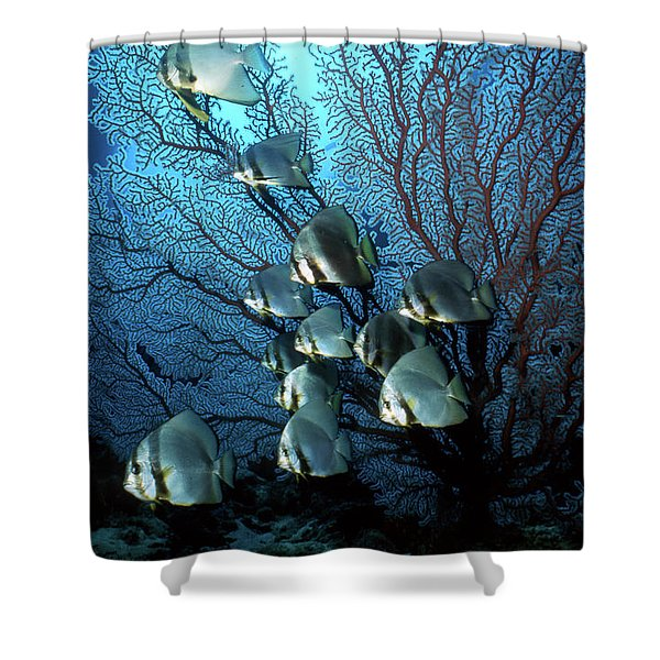 Batfish And Sea Fan, Papua New Guinea Shower Curtain by Beverly Factor
