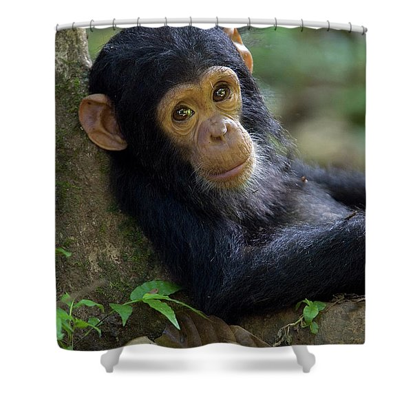 Chimpanzee Pan Troglodytes Baby Leaning Shower Curtain by Ingo Arndt