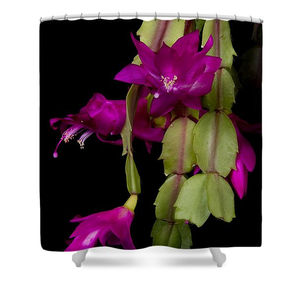 Christmas Cactus Purple Flower blooms Shower Curtain by James BO  Insogna