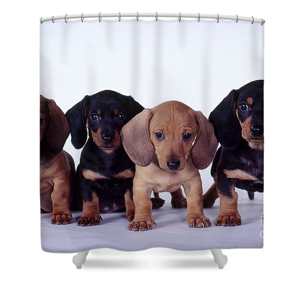 Dachshund Puppies  Shower Curtain by Carolyn McKeone and Photo Researchers