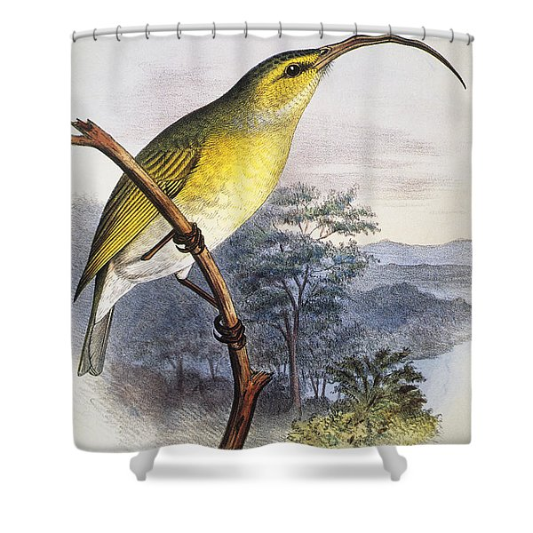 Greater Akialoa Shower Curtain by Hawaiian Legacy Archive - Printscapes