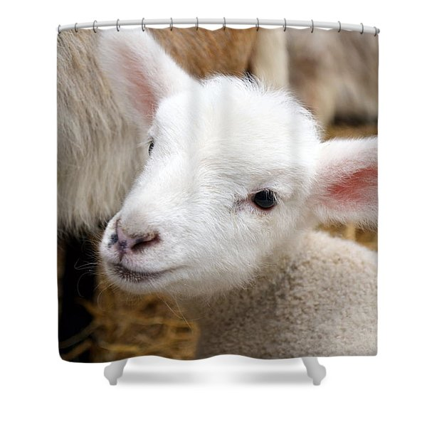 Lamb Shower Curtain by Michelle Calkins