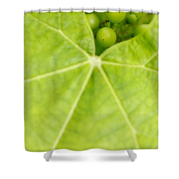 Maturing wine grapes Shower Curtain by Gaspar Avila