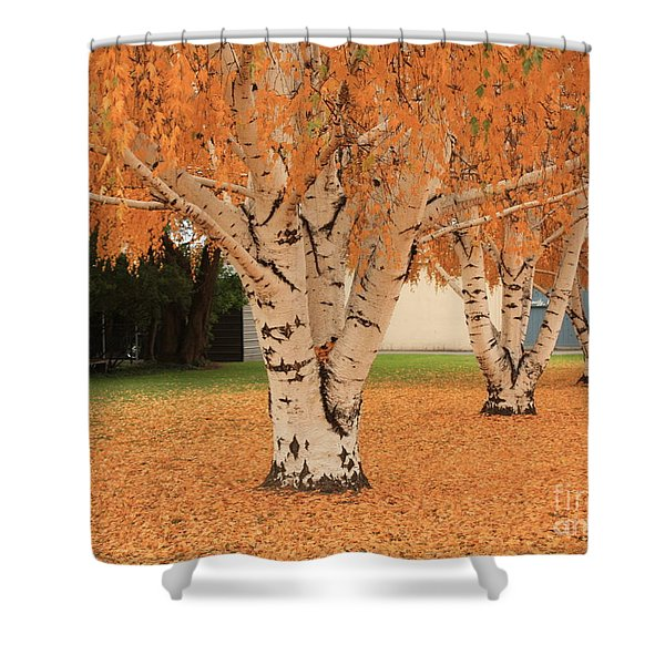 Prosser - Autumn Birch Trees Shower Curtain by Carol Groenen