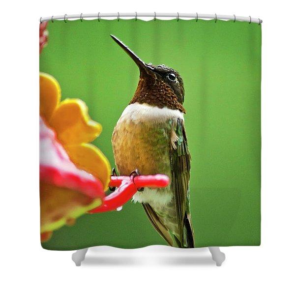 Rainy Day Hummingbird Shower Curtain by Christina Rollo