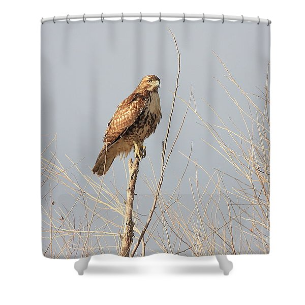 Red Tailed Hawk 20100101-5 Shower Curtain by Wingsdomain Art and Photography