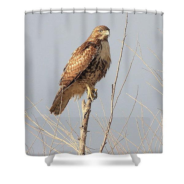 Red-tailed Hawk . 40d11323 Shower Curtain by Wingsdomain Art and Photography