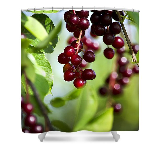 Ripe Red Cherries Jubilee Shower Curtain by Christina Rollo
