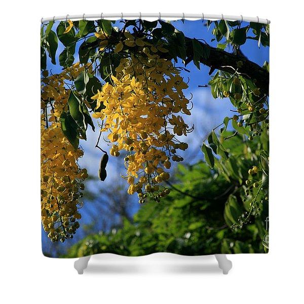Wilhelmina Tenney Rainbow Shower Tree Makawao Maui Flowering Trees Of Hawaii Shower Curtain by Sharon Mau