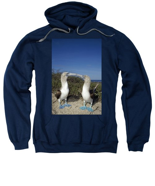 Blue-footed Boobies Courting Galapagos Sweatshirt by Tui De Roy