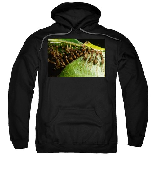 Weaver Ant Group Binding Leaves Sweatshirt by Mark Moffett