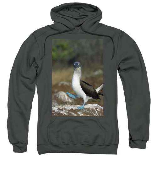 Blue-footed Booby Courtship Dance Sweatshirt by Tui De Roy