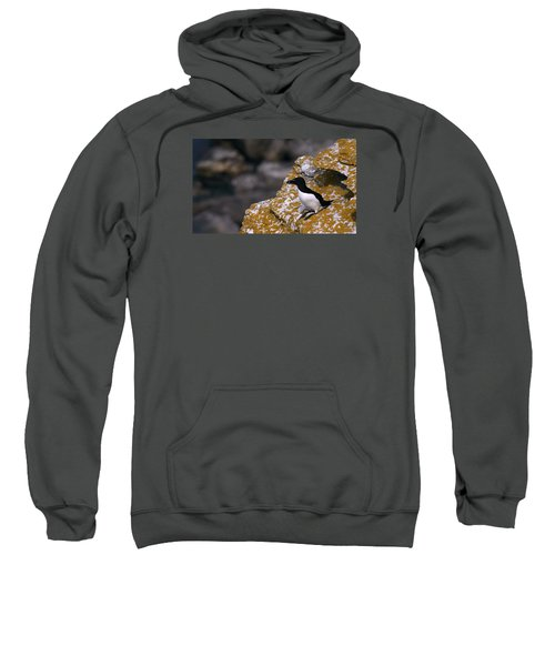 Razorbill Bird Sweatshirt by Dreamland Media