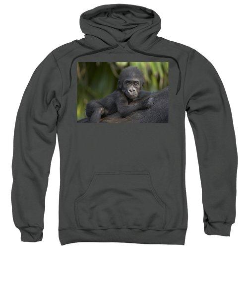 Western Lowland Gorilla Gorilla Gorilla Sweatshirt by San Diego Zoo