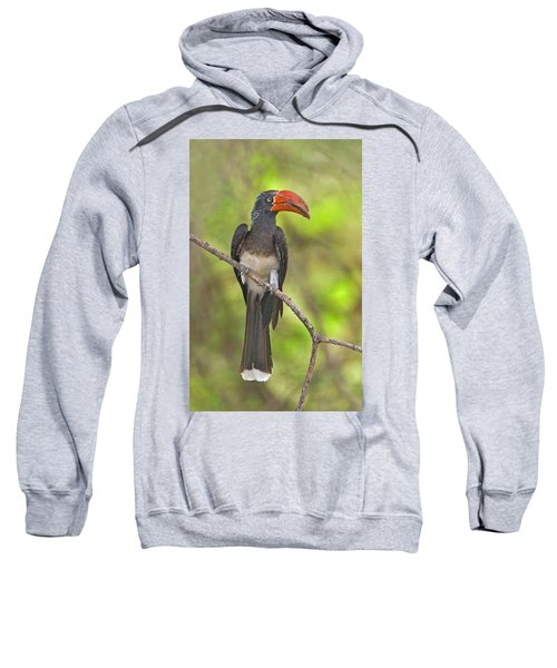 Crowned Hornbill Perching On A Branch Sweatshirt by Panoramic Images