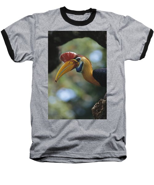 Sulawesi Red-knobbed Hornbill Male Baseball T-Shirt by Tui De Roy