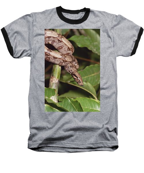 Boa Constrictor Coiled South America Baseball T-Shirt by Gerry Ellis