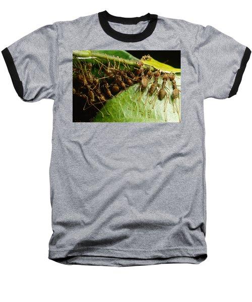 Weaver Ant Group Binding Leaves Baseball T-Shirt by Mark Moffett