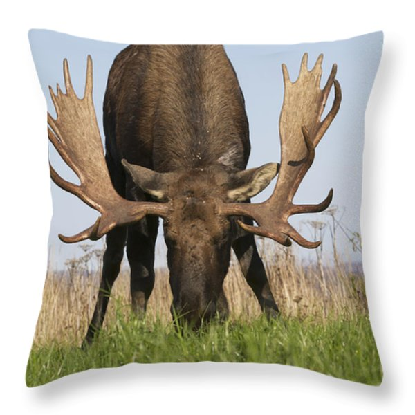 A Large Bull Moose Feeds Near Point Throw Pillow by Doug Lindstrand