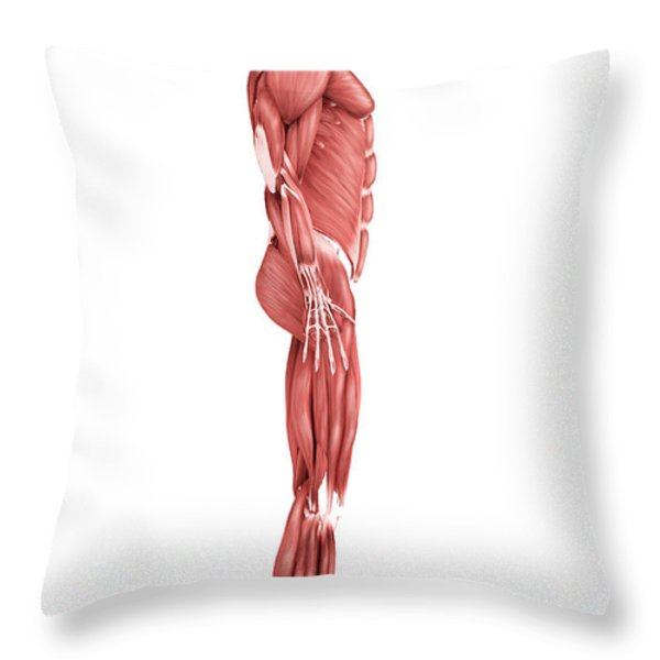 Medical Illustration Of Male Muscular Throw Pillow by Stocktrek Images