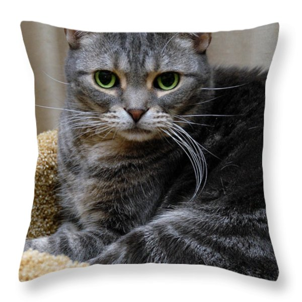 American Shorthair Cat Portrait Throw Pillow by Amy Cicconi