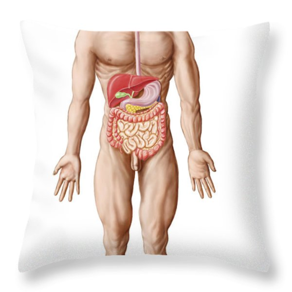 Anatomy Of Human Digestive System, Male Throw Pillow by Stocktrek Images
