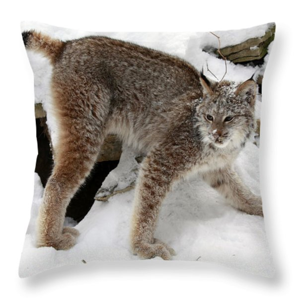Baby Canadian Lynx Leaving the Winter Den Throw Pillow by Inspired Nature Photography By Shelley Myke