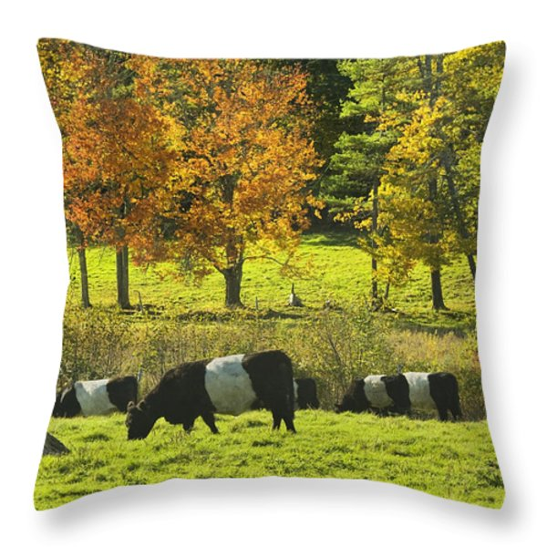 Belted Galloway Cows Grazing On Grass In Rockport Farm Fall Maine Photograph Throw Pillow by Keith Webber Jr