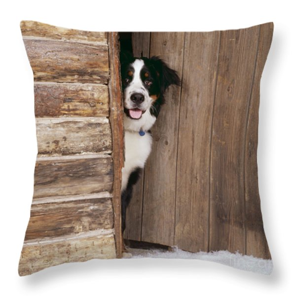 Bernese Mountain Dog At Log Cabin Door Throw Pillow by John Daniels