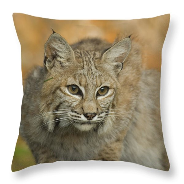 Bobcat Felis Rufus Throw Pillow by Grambo Photography and Design Inc.