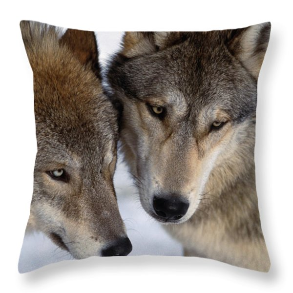 Captive Close Up Wolves Interacting Throw Pillow by Steven Kazlowski