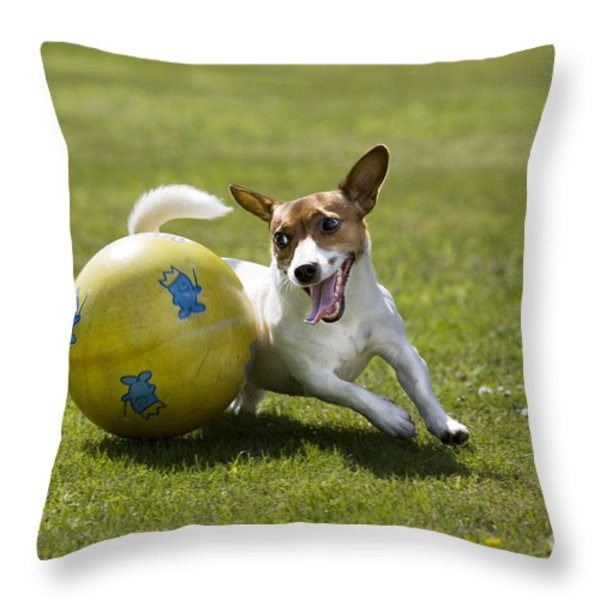 Jack Russell Terrier Plays With Ball Throw Pillow by Johan De Meester