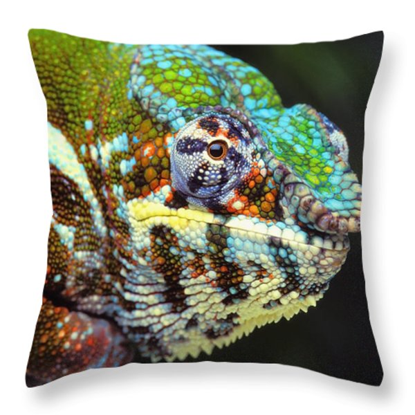 Male Panther Chameleon Furcifer Throw Pillow by Thomas Kitchin & Victoria Hurst