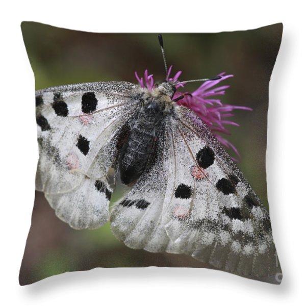Mountain Apollo Parnassius apollo Throw Pillow by Amos Dor