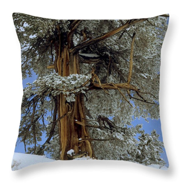 Bristlecone Pine Tree Blanketed In Snow Throw Pillow by Tim Laman