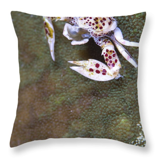 Spotted Porcelain Crab Feeding Throw Pillow by Steve Jones