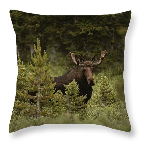 A Bull Moose Stops For A Photograph Throw Pillow by Raymond Gehman