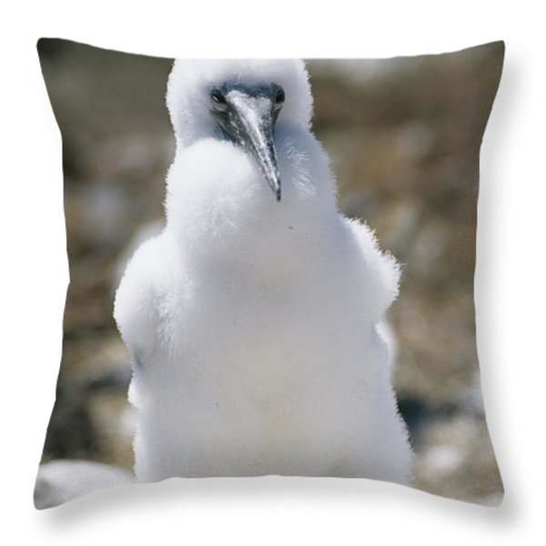 A Chick Blue Footed Booby Sits Throw Pillow by Gina Martin