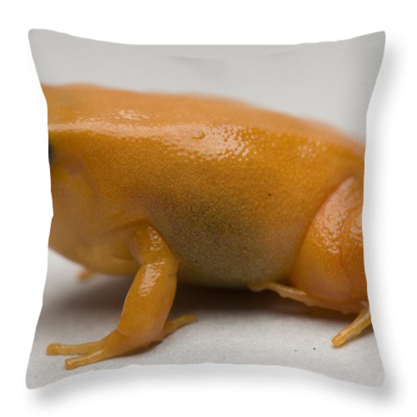 A Golden Mantella Mantella Aurantiaca Throw Pillow by Joel Sartore