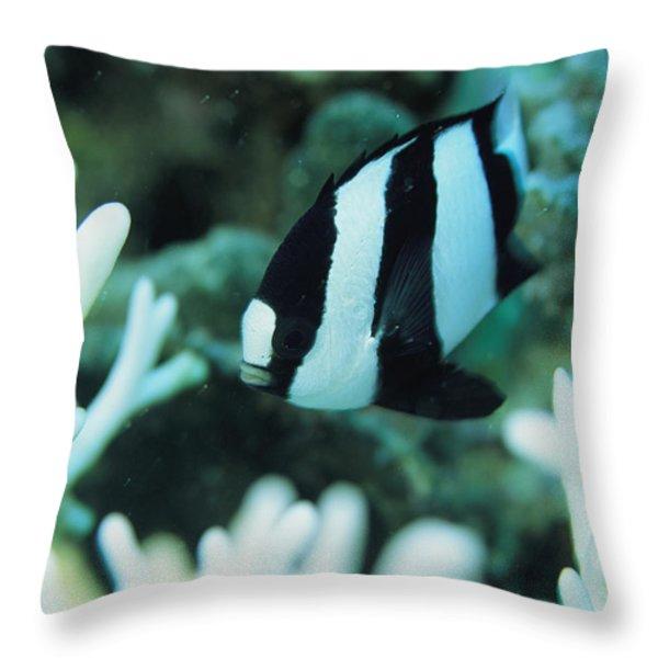 A Humbug Dascyllus Fish Swims Throw Pillow by Tim Laman