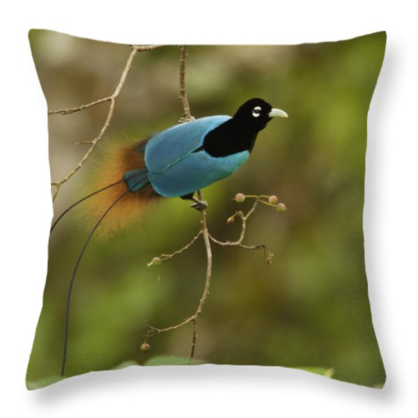 A Male Blue Bird Of Paradise Perched Throw Pillow by Tim Laman