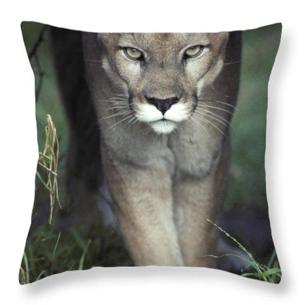 A Mesmerising Glare Of A Stalking Puma Throw Pillow by Jason Edwards