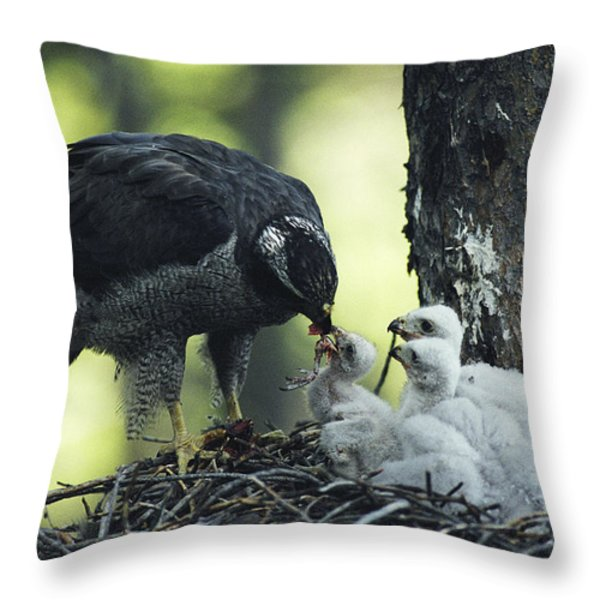 A Northern Goshawk Feeds Its Scrawny Throw Pillow by Michael S. Quinton