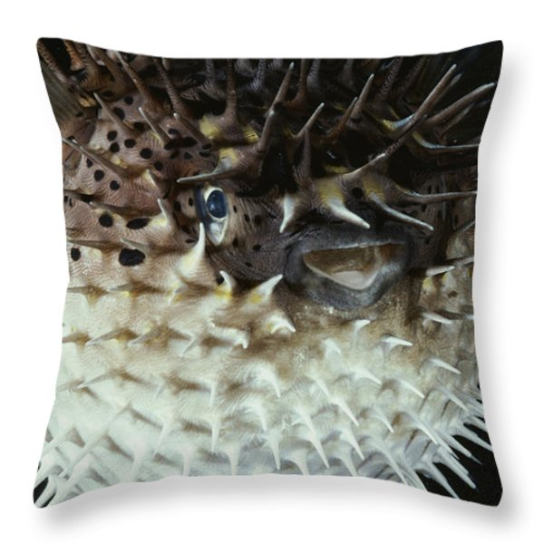 A Porcupine Fish Swells To Twice Throw Pillow by David Doubilet