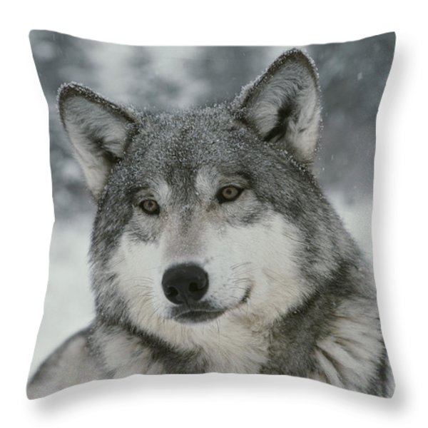 A Portrait Of A Beautiful Gray Wolf Throw Pillow by Jim And Jamie Dutcher