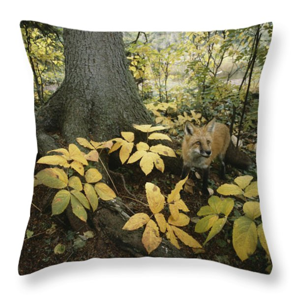 A Red Fox On Isle Royale In Lake Throw Pillow by Annie Griffiths