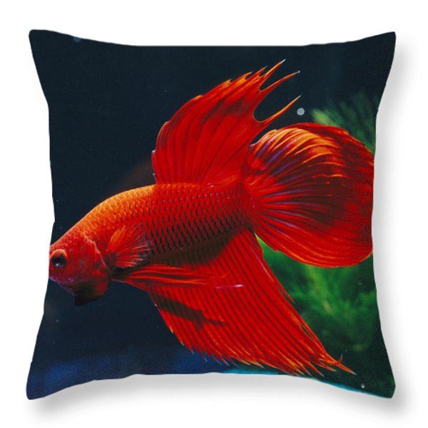A Red Siamese Fighting Fish In An Throw Pillow by Jason Edwards