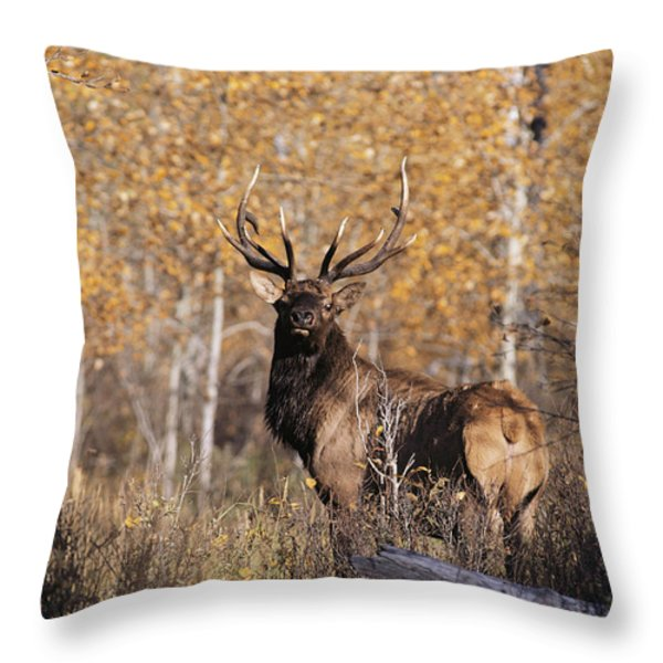 A Rutting Bull Elk, Or Wapiti, Stands Throw Pillow by Medford Taylor